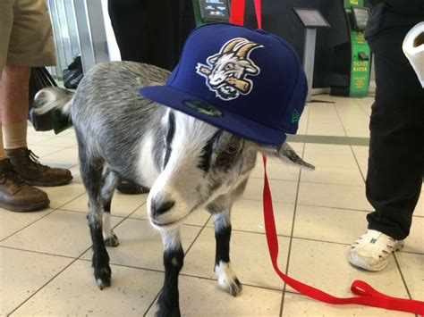 the backyard goat yard goats reveal colors and logo pay tribute to hartford s sports history fox 61