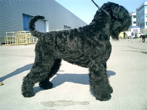 black russian terrier puppies black russian terrier o terrier ruso negro razas de perros mascotas