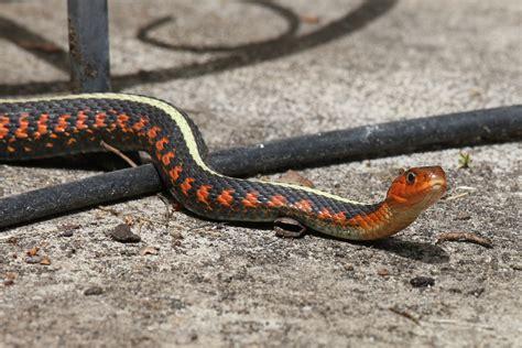 Garter Snake Oregon Thamnophis Sirtalis Concinnus The Oregon Spotted