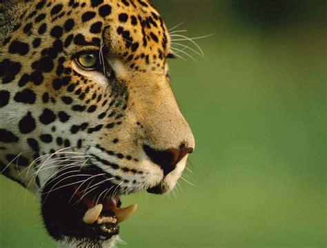 imagenes de la jaguar 25 cosas que todos los mexicanos deber 237 amos de saber sobre