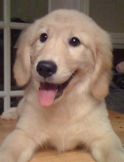 golden retriever puppies wiki file goldenretrieverpuppydaisyparker jpg