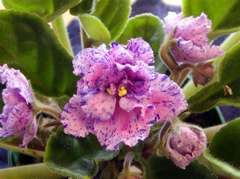 african violet african violet ruth hayward