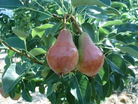 when do pear trees produce fruit 16 best images about fruits on trees prunus