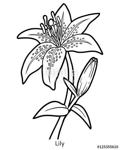 """""""Coloring book, flower Lily"""" fichier vectoriel libre de"""