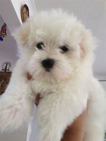 Dogs For Sale In Maltese Puppies For Sale Gillingham Kent Pets4homes