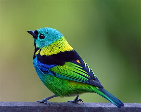 beautiful green color green headed tanager tangara seledon green headed