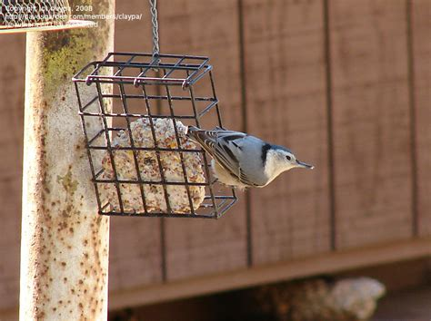 detailed information  white breasted nuthatch sitta