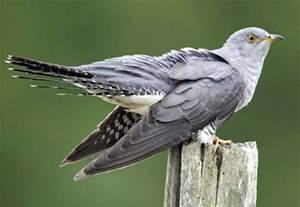 first cuckoo british bird lovers