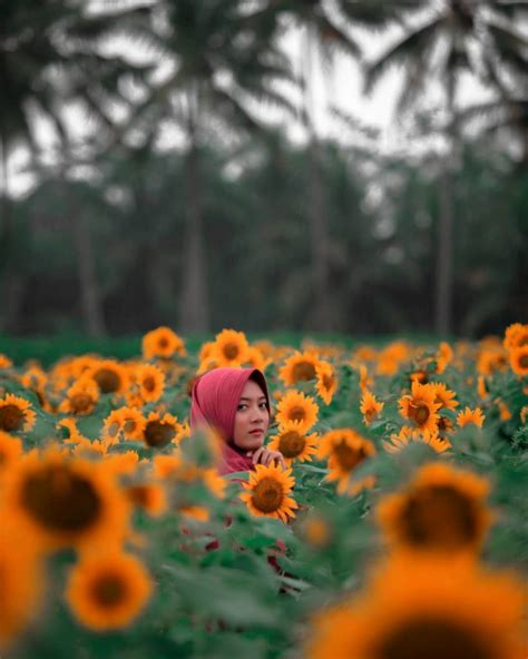 Bibit Bunga Matahari Di Bandung taman dewari magelang spot instagenik baru berisi ribuan