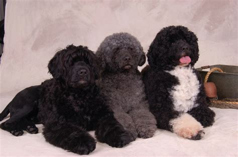 portuguese water dogs portuguese water breed guide learn about the portuguese water