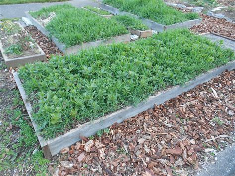 Cover Crops In Raised Beds Fig 2 Gardening In Washington Cover Crops For Vegetable Gardens