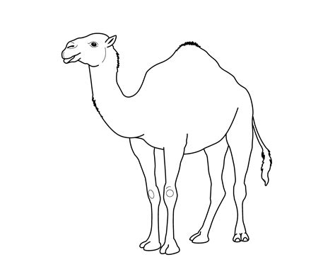 camel clipart coloring pencil and in color camel clipart