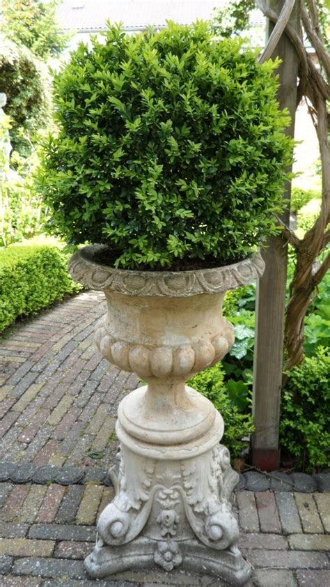 french vase with boxwood urn containers green