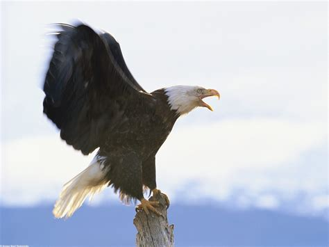 Eagle   Info-Facts and Photos   The Wildlife