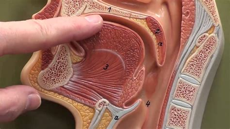 head section head sagittal section close up youtube