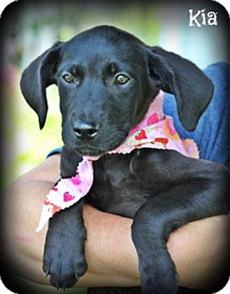 great dane puppies nj great dane lab mix puppies adopted puppy cranford nj great dane labrador