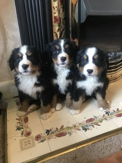 bernese mountain puppies illinois bernese mountain puppies for sale chicago il 234008