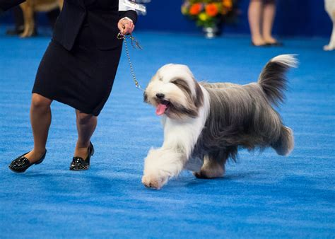 thanksgiving day show scotch plains bearded collie wins quot in quot at quot national show quot on nbc