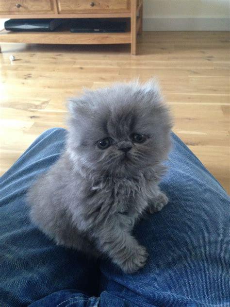 Beautiful Blue Pedigree Persian Kitten RESERVED   Norwich
