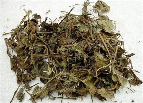 鱼腥草 tcm herbs tcm wiki