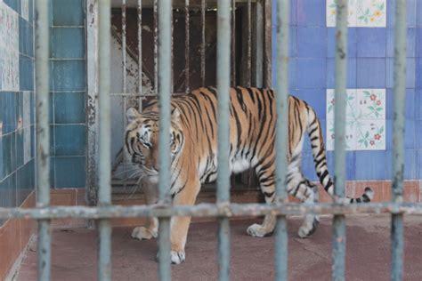 tigre in gabbia passeggiata metropolitana tra leoni e cammelli napolitan it
