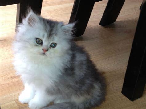kitten for sale silverchincilla kittens for sale northton