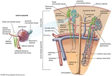 diagram of nephron nephron anatomy britannica