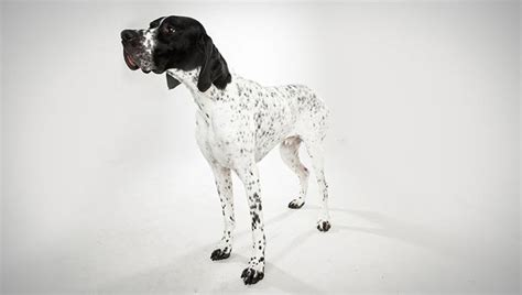 types of pointer dogs pointer breed selector animal planet