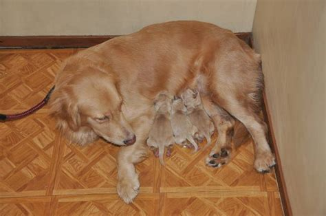 golden retriever philippines golden retriever puppies for sale adoption from manila metropolitan area quezon