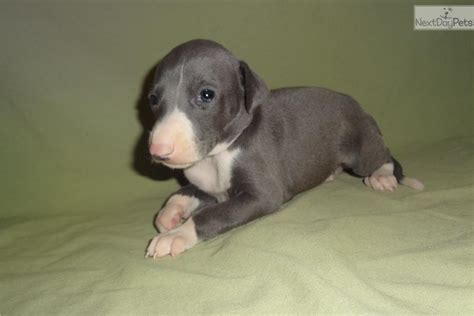 greyhound puppies for sale near me italian greyhound puppy for sale near springfield missouri 43e83a30 1c91
