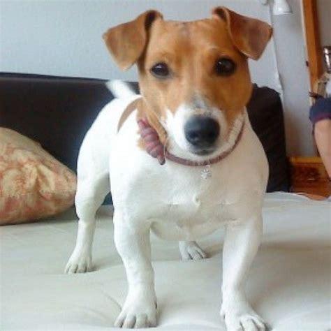 imagenes de perros jack rusell que lindo perro jack russell imagen sabri7a en