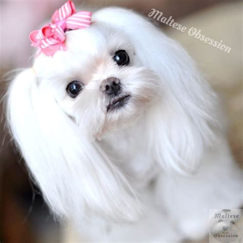 asian fusion maltese haircut 1000 images about maltese cuts on pinterest