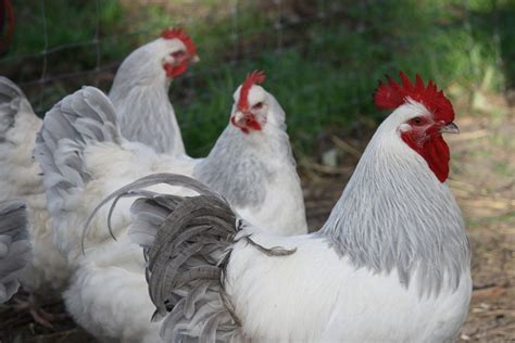 backyard chickens australia australia six states and that funny little island