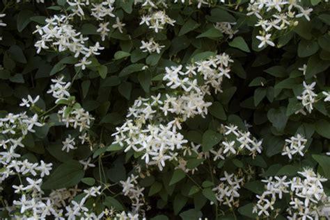types flowering vines images