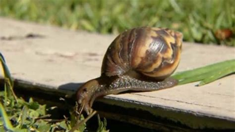 how to find a snail in your backyard how to find a snail in your backyard 28 images easy