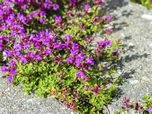 heat tolerant ground cover plants drought tolerant