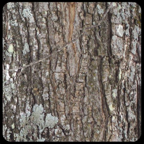 maple tree bark identification how to make maple syrup smoky lake maple products llc