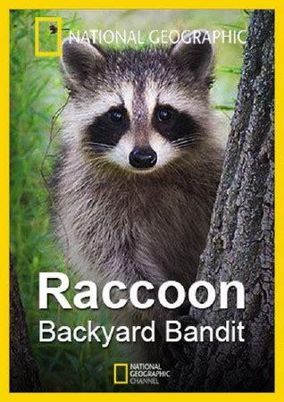 raccoon backyard нашествие енотов raccoon backyard bandit 2014 national