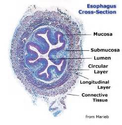 Cross Section Of Esophagus by Chapter 14 Page 2 Histologyolm 4 0