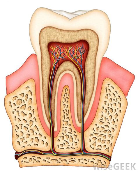 cross section of tooth how does tooth splinting work with pictures