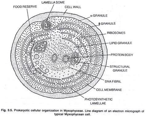 algal cell diagram brief notes on prokaryotic and eukaryotic algae