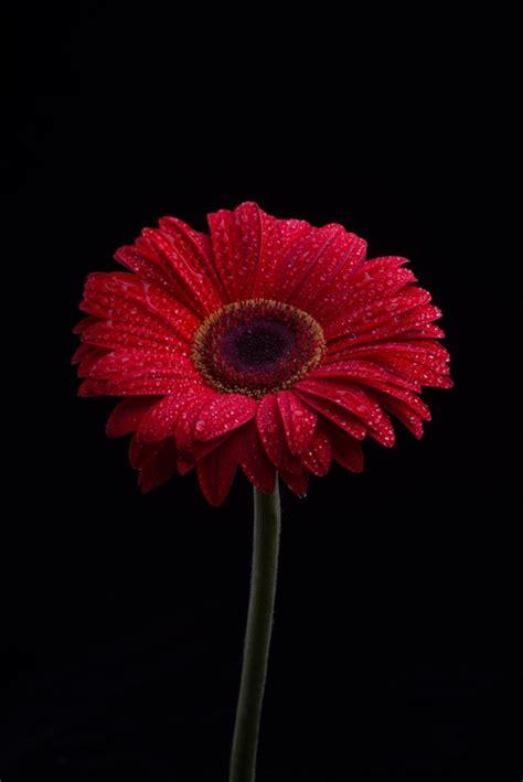 foto di fiori da scaricare gratis fiori di gerbera isolato su sfondo nero scaricare foto