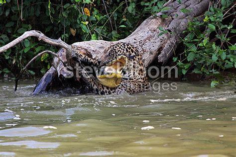how strong is a jaguar jaguar killing dragging a caiman against a strong