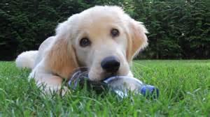 13 week golden retriever puppy 13 weeks golden retriever puppy