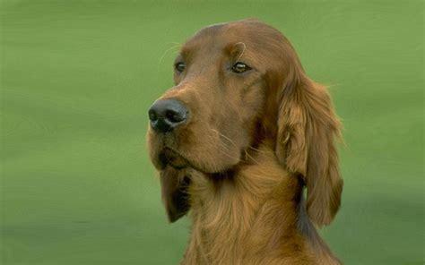 red setter dog wallpaper 1000 images about irish setter on pinterest irish