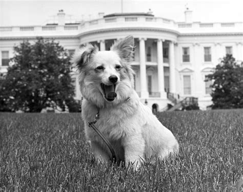 dog white house kn 18266 white house dog quot pushinka quot john f kennedy presidential library museum