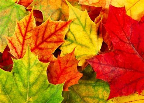 fall leaf colors fall leaves united states vs europe explanation for
