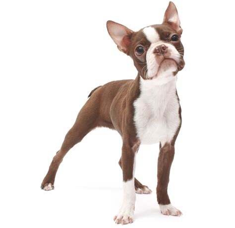when do puppy ears stand up what dogs stand up ears breeds picture