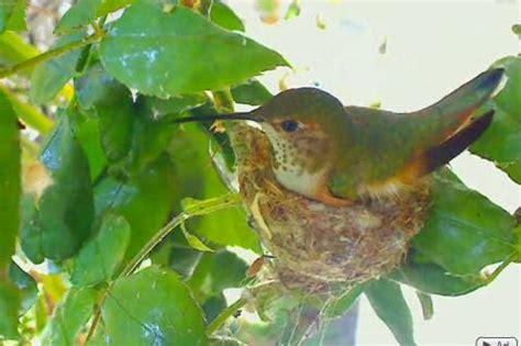 hummingbird cam phoebe