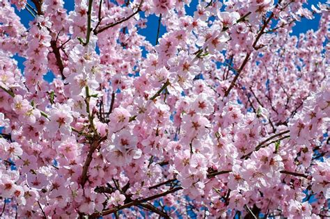 10 Places To See Cherry Blossoms Around The World Japanese Cherry Blossom Flower